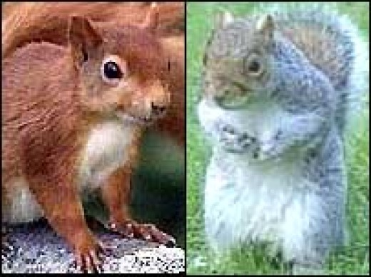 Once upon a time, red squirrels were considered perfectly adapted to their habitat.