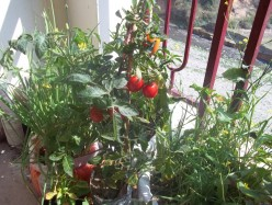 How to Grow Tomatoes in your Balcony using Grocery Sacks and other waste Materials