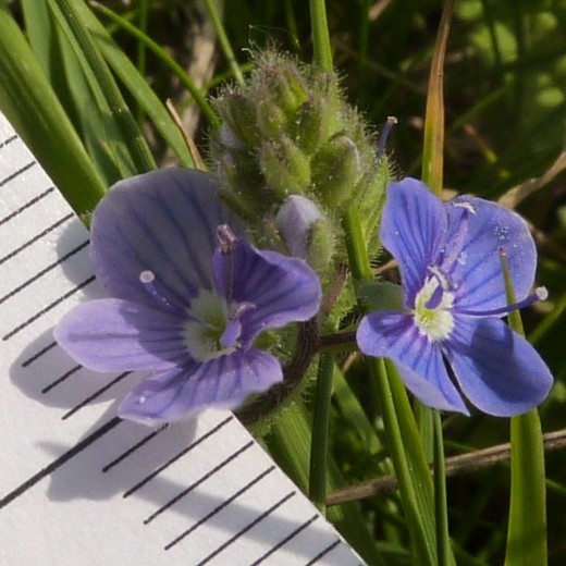 Common Speedwell plant (Veronica officinalis)