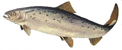 Atlantic salmon. Salmo salar