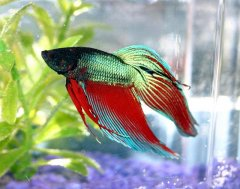 With careful care, your Betta can happily keep you company at work for many years.