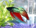 Living Feng Shui! The Pretty Betta or Siamese Fighting Fish as a Desktop Pet