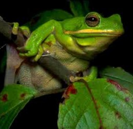 Tree frogs are a unique creature native to the area and sound like a