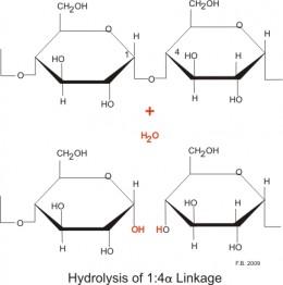 Amylase breaking the 1,4 glycosidic bond between two glucose monomers. Source: Boumphreyfr, wikimedia commons, CC BY-SA 3.0.