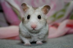 How do you get rid of mites on a dwarf hamster?