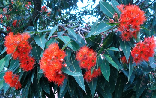 Flowering Gums at Easter