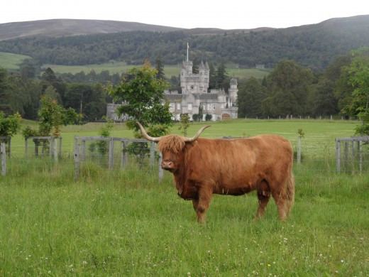 Highland cattle with Balmoral castle in the background.