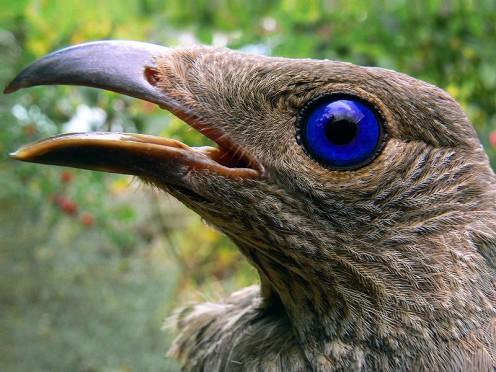 A Satin Bowerbird Ptilonorhynchus violaceus