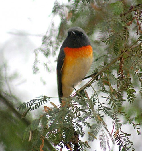 Small Minivet Pericrocotus cinnamomeus at Bharatpur, Rajasthan, India.