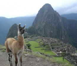 Machu Picchu & llamas