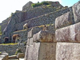 Llamas Wander Around the Ruins at Machu Picchu