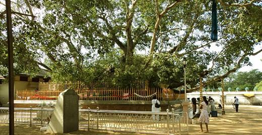 The Sacred Bodhi Tree