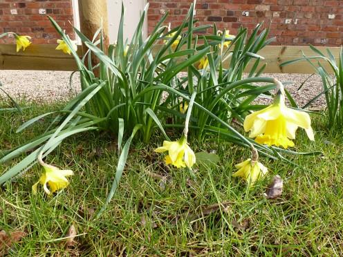 Daffodils 14th February 2012