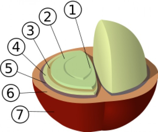 Structure of coffee berry and beans: 1: center cut 2:bean (endosperm) 3: silver skin (testa, epidermis), 4: parchment (hull, endocarp) 5: pectin layer 6: pulp (mesocarp) 7: outer skin (pericarp, exocarp)
