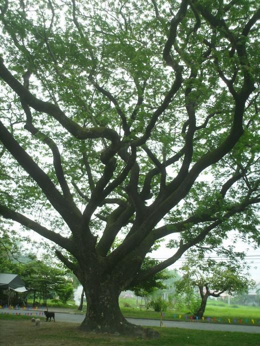 "Acacia Tree ... ""I think that I shall never see a poem lovely as a tree"" ... by Joyce Kilmer"