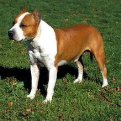The American Staffordshire Terrier .