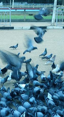 Pigeons around Kataragama Devale.