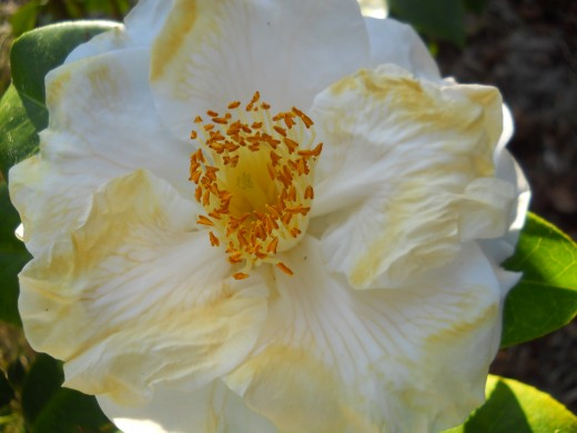 Close up of one of the flowers in the Camellia Garden.