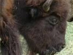 Buffalo can be very dangerous animals!