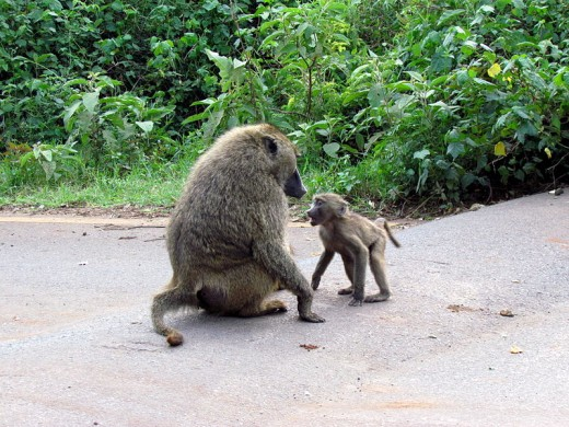 The offspring of female baboons with strong social ties are more likely to survive relative to the offspring of females without strong ties.