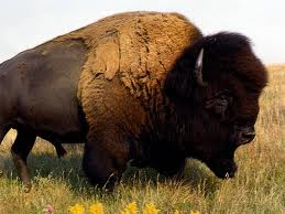 Buffalo are much larger than most people realize.