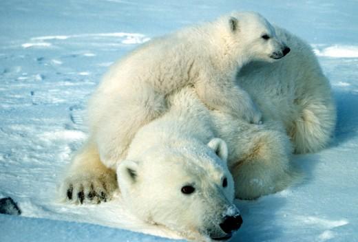Polar bear and cub.