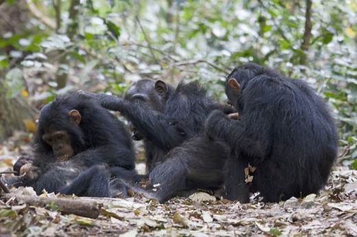 Chimpanzees are capable of exhibiting the kind of behavior that humans would call friendship.