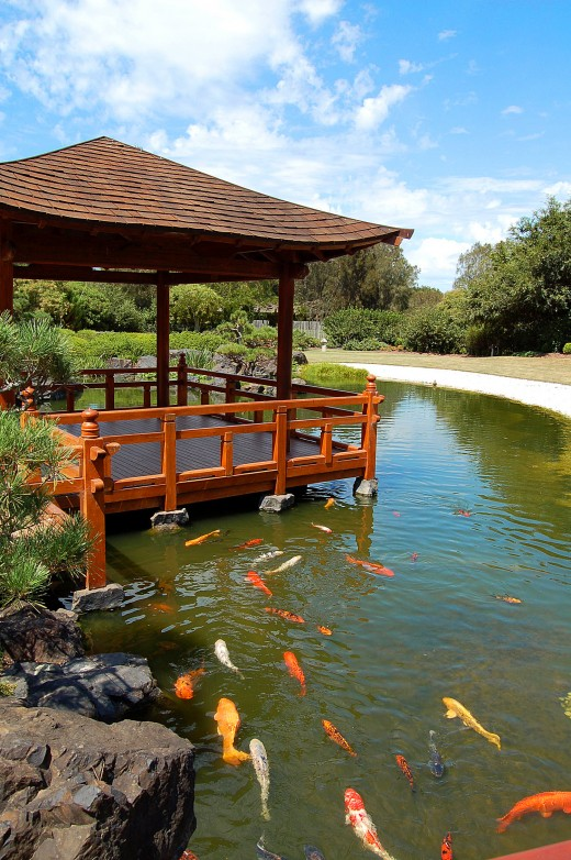 Photo take by Belinda Cumming. Japanese Koi fish swimming in the pond at Edogawa Gardens, Gosford NSW Australia.