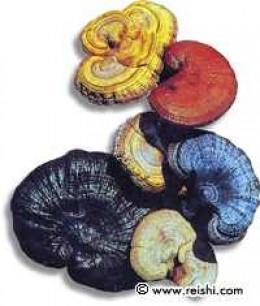 red, white, yellow, blue, black, purple reishi mushrooms