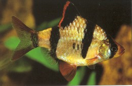 Tiger Barbs are very popular freshwater aquarium fish. These fish are very active and are best kept in groups of six or more.