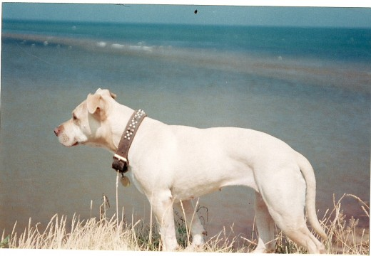 Cuda, 15yrs. PEI beach, watching over Gollden Retriever Buck (in water, bellow)