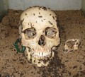 Forensic science (entomology): blow flies, coffin bugs, carrion beetles on a corpse