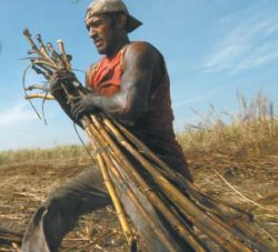 a sugar cane worker at ingenio san antonio