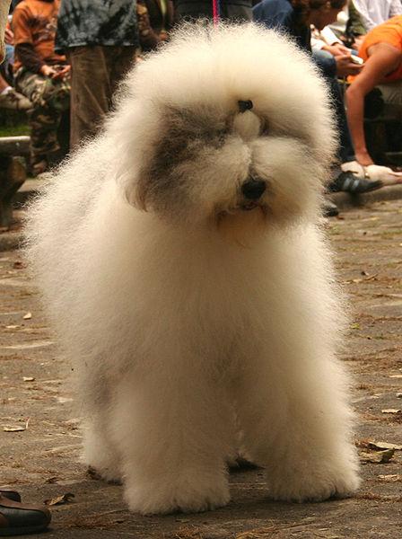 An Old English Sheepdog