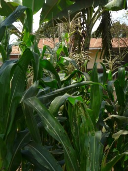While improving in quality, Ugandan maize struggles to gain market competitiveness.