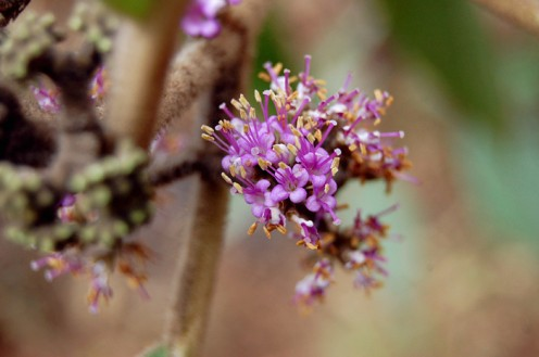 Flowers of the Urn-Fruit Beauty Berry (Callicarpa macrophylla). The berries of the plant are considered edible.