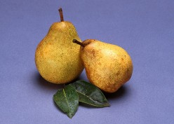 Harvest Gold Pears