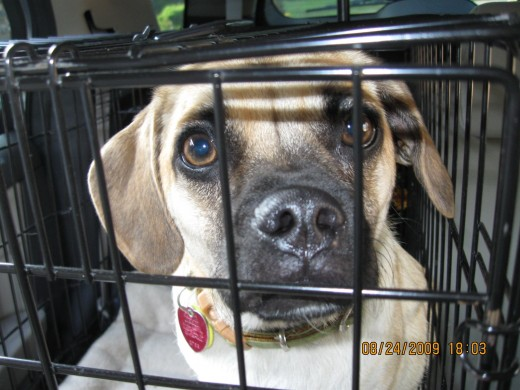 Pets learn to love their crates when used correctly.  Never crate as a punishment.  Use crating to control behavior and create  a safe area for your pet.  Beela felt safe in her crate while traveling.