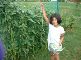 There in the photo you can see the little girl is picking yard long pole beans. When the pole beans are a yard long you don't need many to fill the crock pot.