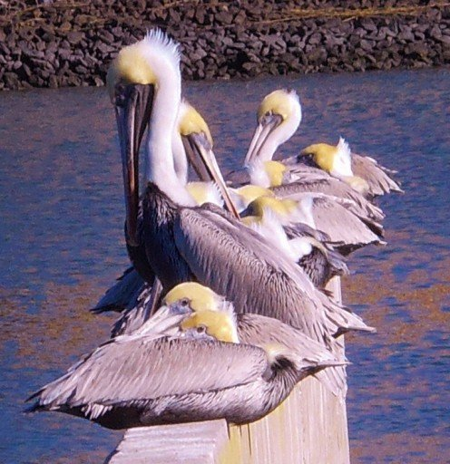 No matter where you go on the island, you're likely to see pelicans flying overhead or resting on posts.