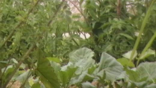 Greens growing in a garden