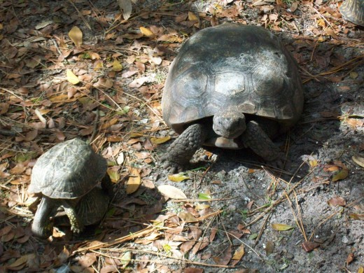 Turtles are forever getting run over on Florida roads, and so Busch Wildlife has a surfeit of box turtles to watch.