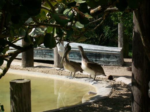 You can observe pelicans up close. (Warning: they smell like rotten fish.)