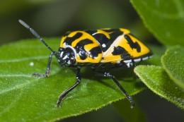 A Harlequin Bug