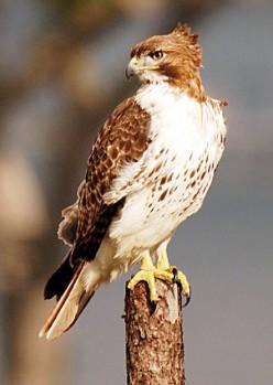 Hawk Through the Window