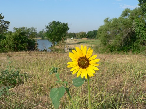Golden Sunflower Overlooking the Pond at Pappy Elkins