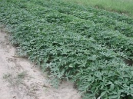 Sweet Potatoes Growing In The Field