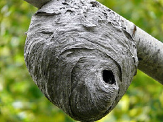The wasp nest that Sang Kancil used to trick Tiger