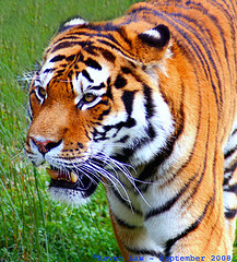Will the Tiger catch the mouse deer?