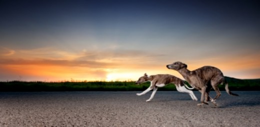 Running Whippets
